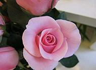 含苞待放的粉玫瑰摄影图片