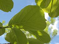 仰拍蓝天白云与绿叶图片