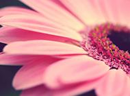 高清非主流非洲菊唯美桌面壁纸