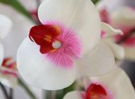 蝴蝶兰鲜花高清图片赏析