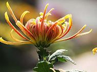 傲然挺立的菊花图片