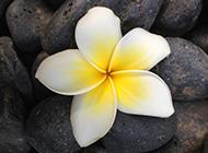 鸡蛋花独特花瓣写真图片