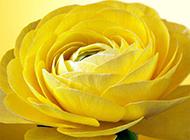 黄玫瑰花图片背景素材