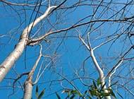 白杨树壮实树枝图片
