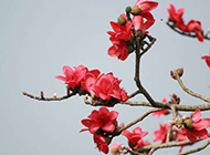 火红的木棉花缀满枝头图片