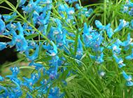 淡蓝色的野花图片