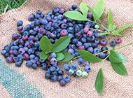 新鲜采摘的蓝莓图片