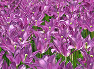 紫色郁金香图片下载