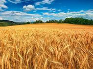 金色麦田风景唯美背景图片