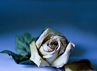 枯萎玫瑰浪漫告白背景素材
