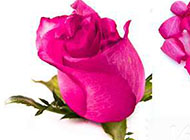 背景图片 精美情人节玫瑰花