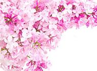淡粉色鲜花背景素材时尚精美