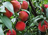 桃树上结满了大桃子组图