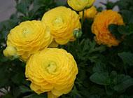 漂亮的黄色盆栽大丽花图片