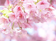 唯美粉色樱花背景图片素材