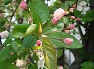 含苞待放的海棠花摄影图片