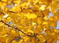 银杏树黄金满地图片素材大全