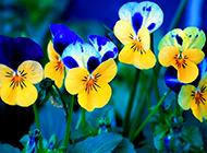 一片蝴蝶花图片随风飘扬
