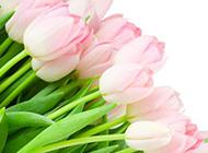 粉色郁金香背景图清新优美