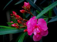 盆栽夹竹桃图片灿烂妩媚