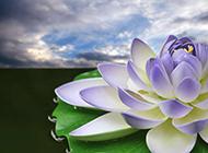 古朴淡雅的莲花特写图片