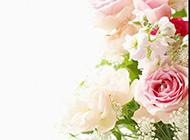 眉目娇羞的粉玫瑰唯美图片