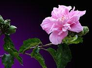 木槿花淡雅花色图片赏析