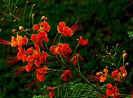 火红的凤凰花图片美美哒