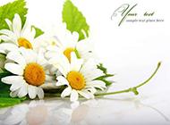 白色的野菊花高清背景图片