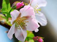 艳美高雅的海棠花图片