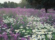 一大片野花花丛图片