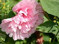粉色的木芙蓉图片