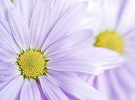 赏心悦目的菊花图片大全