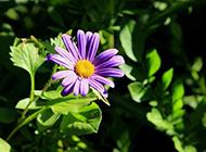 朝着阳光绽放的紫色野菊花