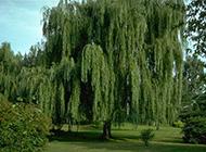 春天柳树图片绿意盎然