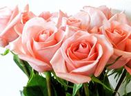 情人节娇美香槟玫瑰花图片