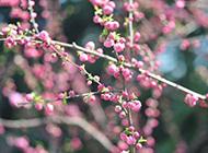 粉桃花春天鲜花高清摄影图片