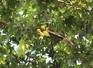 枝叶茂盛的梧桐树图片