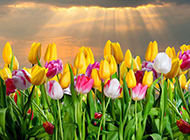 郁金香花浪漫花卉图片背景