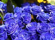 妖艳迷人蓝色妖姬唯美图片