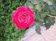 四季常开的红色月季花图片