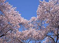 满树烂漫的樱花图片