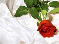 十分鲜艳的玫瑰花高清大图