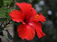 扶桑花图片欣赏精选红色鲜花素材