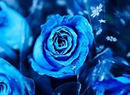 特别美的蓝色妖姬鲜花图片