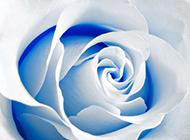 高清蓝色玫瑰花图片素材