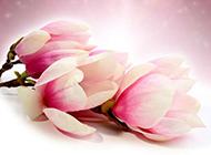 木兰花清淡唯美背景图片素材
