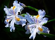 漂亮的法国国花鸢尾花图片欣赏