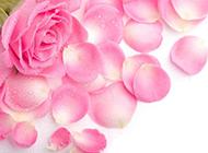 唯美玫瑰花图片高清粉色背景素材