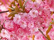 粉红樱花背景图片素材